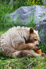 A hungry Kermode Bear eating honey