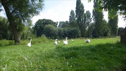 white ducks taking lazy leisurely walk in the green