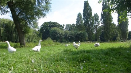 bright white ducks taking rest in the green grass sunny day