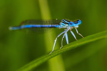 Blue dragonfly on the grass blade in the morning