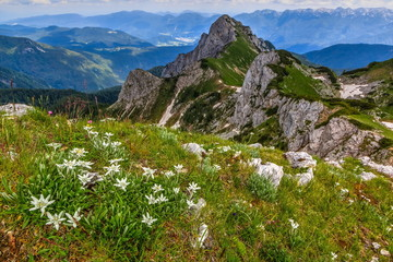 Edelweiss on a meadow with a view of Jezerski Stog mountain
