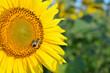 Obrazy na płótnie, fototapety, zdjęcia, fotoobrazy drukowane : Sunflower with honey bee