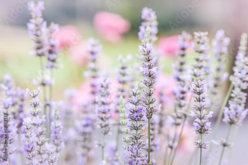 In de dag Lavendel Lavender