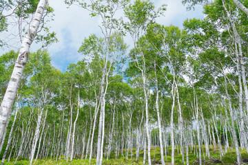 白樺群生林1