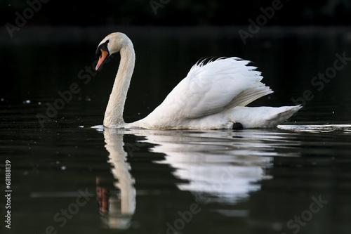 Fotobehang Mute swan on black