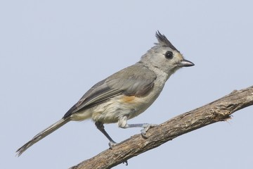 Black-Crested Titmouse Perching on Branch