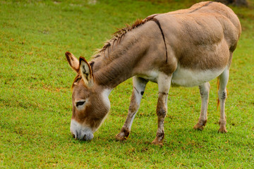 Brown and white donkey