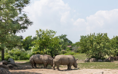 Rhinos in zoo