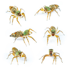 Isolated Female cosmophasis umbratica jumping spider