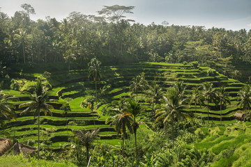 The green fields rice at Tegalang village, Ubud Indonesia