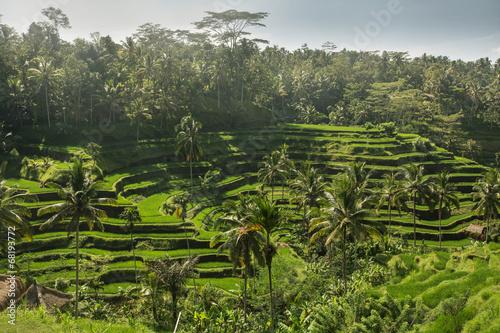 Plexiglas Indonesië The green fields rice at Tegalang village, Ubud Indonesia