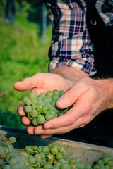 Grappolo d'uva tra le mani durante la vendemmia
