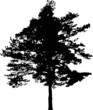 pine tree black silhouette on white illustration
