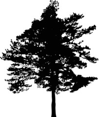 pine tree black silhouette on white illustration