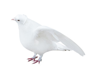 isolated white color pigeon with disclosed wings