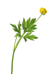 wild yellow buttercup flower on white