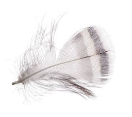 single feather with light stripe