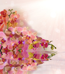 bright orchid flowers with pink strips and reflection