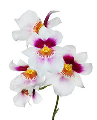 five white orchid flowers with pink and yellow center