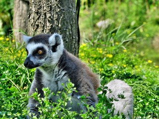 Lemure dalla coda ad anelli