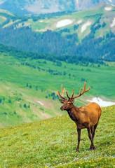 Elk on the Mountain Meadow