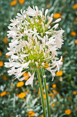 White Agapanthus with yellow flowers background