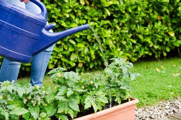 tomaten im garten gießen