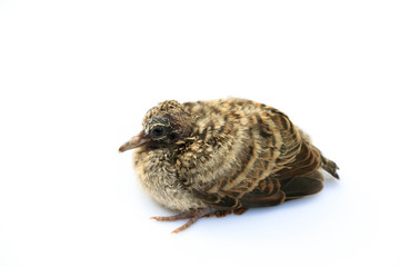 Young bird on white background