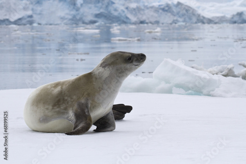 Foto op Aluminium Antarctica crabeater seal which lies on the ice in Antarctic waters