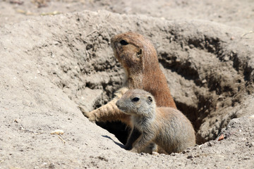 prairie dogs watching from hole