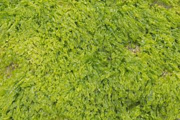 Algae on the bottom of the sea