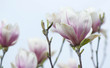 Obrazy na płótnie, fototapety, zdjęcia, fotoobrazy drukowane : Fiori di magnolia