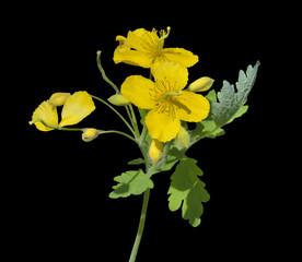 Medicinal herb celandine 8