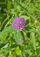 Medicinal herb red clover