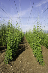 Hop crop rows with blue sky