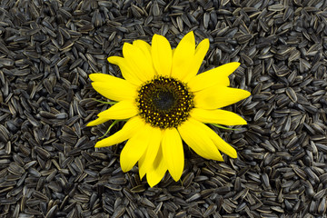 Beautiful Sunflower on Sunflower Seeds Black Background
