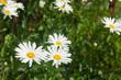 bright white daisies in garden