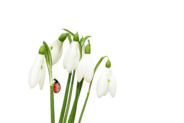 Snowdrops spring  flowers  and ladybird