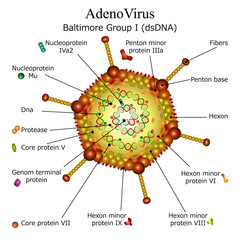 Diagram of Adeno virus particle structure