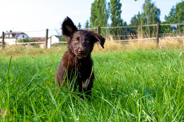 Flat-Coated Retriever Welpe