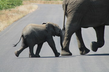 Baby elephant follows his mother