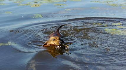 HD - Dashshund swims for his wand. Close-up