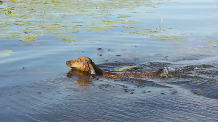 HD - Funny dog. Dashshund swims for his wand
