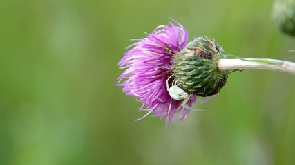 White spider on thistle
