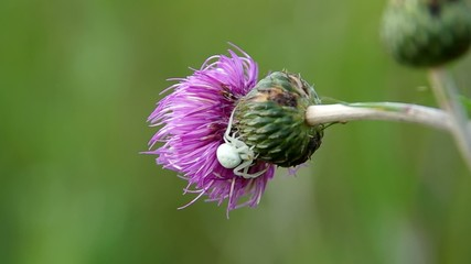 White spider on blooming thistle