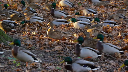 Flock of ducks is preparing for migration