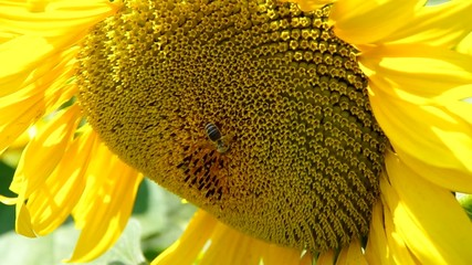 A bee collects pollen on a sunflower field