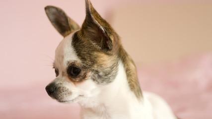 dog looking, chihuahua