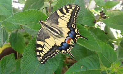 A Beautiful Eastern Tiger Swallowtail Butterfly