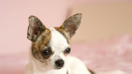 small dog looking, young chihuahua